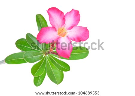 isolated impala lily on white background