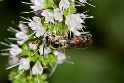 Isolated insect of the Lasioglossum species, a species of bee from the Halictidae family, photographed on wild mint flowers with natural background.