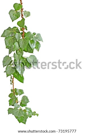 isolated ivy plant on white
