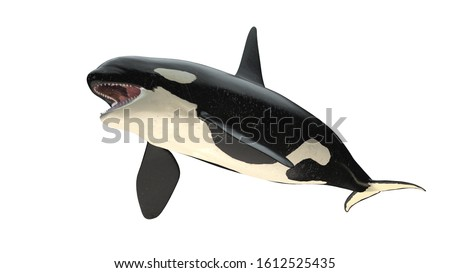 Isolated killer whale orca open mouth right diagonal view on white background cutout ready 3d rendering