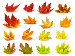Isolated leaf collection. Colorful autumn maple leaves isolated on white background