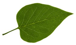 Isolated leaf of lilac on white background