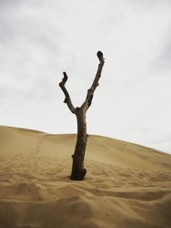 Isolated leafless bald deserted dry dead tree trunk log stump stub branch erosion on slopes of sand Dune of Pilat France