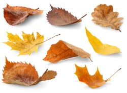 Isolated leaves collection. Colorful autumn leaves of various trees lying on a ground isolated on white backround