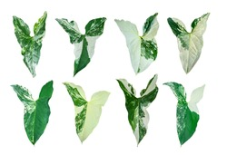 Isolated leaves. Collection of syngonium podophyllum variegate isolated on white background, include clipping path