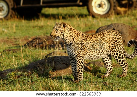 Isolated Leopard on the plains in Africa with a safari truck in the background