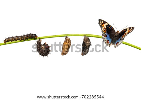 Isolated life cycle of blue pansy butterfly ( Junonia orithya Linnaeus ) from caterpillar and chrysalis , metamorphosis , growth hanging on twig with clipping path