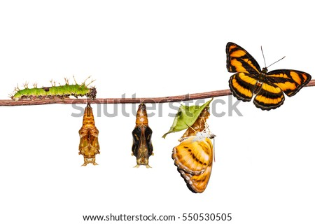 Isolated life cycle of colour segeant butterfly ( Athyma nefte ) from caterpillar and pupa , metamorphosis , growth hanging on twing with clipping path