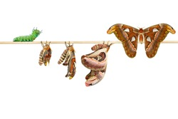 Isolated life cycle of female attacus atlas moth from caterpillar, cocoon ( attacus atlas ) on white with clipping path