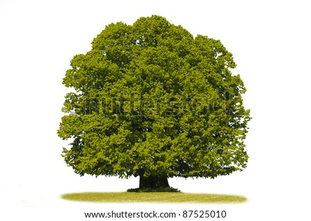 isolated linden tree in summer