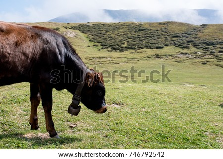 isolated little black cow put to pasture, single calf walking on an alpine pasture land, close up #746792542