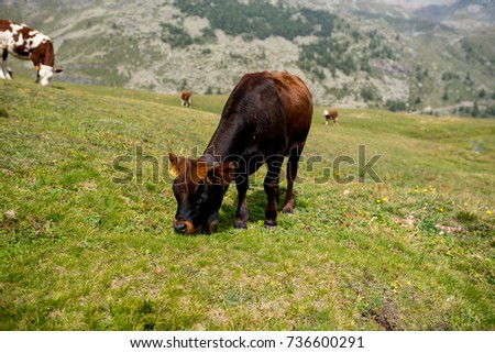 isolated little cow put to pasture, single black and brown calf on an alpine pasture land, mountains background #736600291