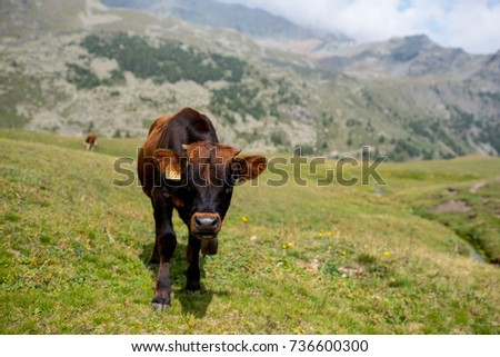 isolated little cow put to pasture, single black and brown calf on an alpine pasture land, mountains background #736600300