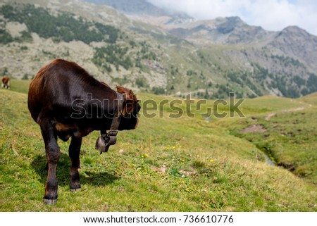 isolated little cow put to pasture, single black and brown calf on an alpine pasture land, mountains background #736610776