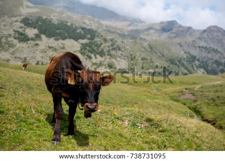 isolated little cow put to pasture, single black and brown calf on an alpine pasture land, mountains background #738731095