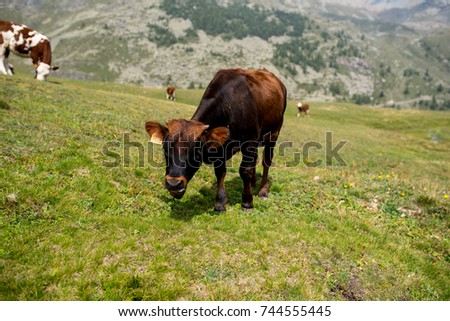 isolated little cow put to pasture, single black and brown calf on an alpine pasture land, mountains background #744555445