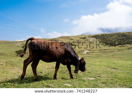 isolated little cow put to pasture, single calf on an alpine pasture land, close up #741248227