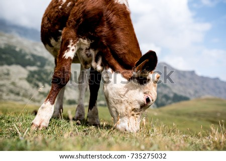 isolated little cow put to pasture, single white and brown calf on an alpine pasture land, close up #735275032