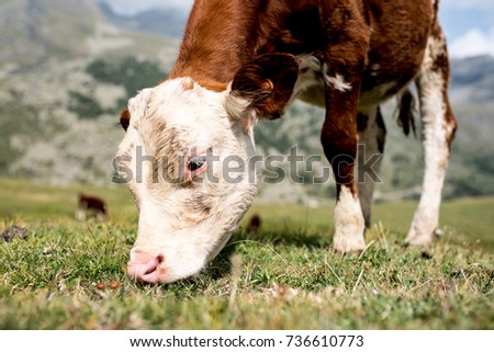 isolated little cow put to pasture, single white and brown calf on an alpine pasture land, close up #736610773