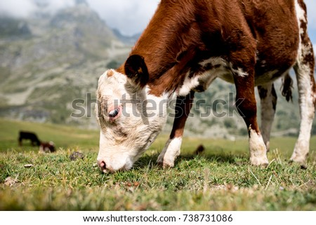 isolated little cow put to pasture, single white and brown calf on an alpine pasture land, close up #738731086