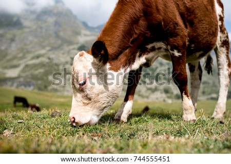 isolated little cow put to pasture, single white and brown calf on an alpine pasture land, close up #744555451