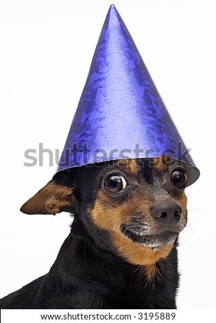 isolated little dog