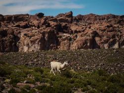 Isolated llama lama glama wildlife animal in Altiplano Andes mountains grassland landscape in Uyuni Sur Lipez Potosi Bolivia South America
