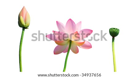 Isolated lotus bud,flower,and seedpod with path