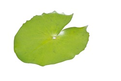 Isolated Lotus leaves in lotus pond on white background.