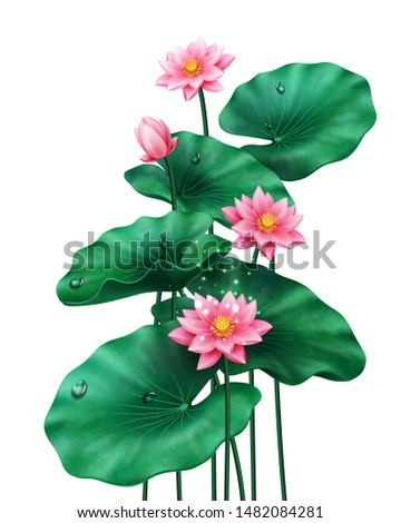 Isolated lotus leaves with flowers and bud on white. Pink blossom of China or Indian plant, Egyptian bean. Petal with water drops for banner background. Asian botany sign. Ornamental nature