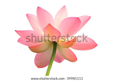 Isolated lotus with path - stock photo