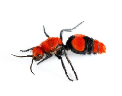 Isolated macro photo of cow killer or Velvet ant, that is actually a wingless wasp but has a very painful sting