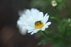 Isolated male Agapostemon Sweat Bee in a garden flower