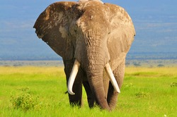 Isolated male elephant in amboseli national park with green background