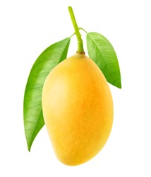 Isolated mango. One yellow mango fruit hanging on a tree branch with leaves isolated on white background with clipping path