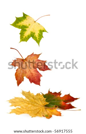 Isolated maple leaves in bright vibrant autumnal colors falling down