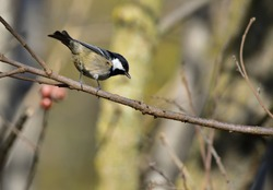 Isolated Marsh tit (Poecile palustris) on branch with natural autumn background.