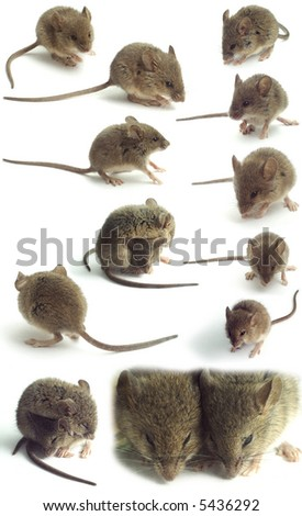 isolated mice