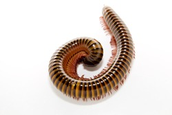 isolated millipede on white background