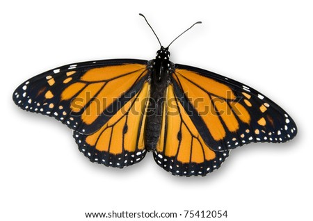 Isolated Monarch Butterfly