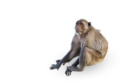 isolated monkey on the white background