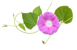 Isolated Morning Glory with vines and leaves on a white background.