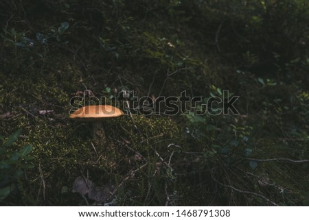 Isolated mushroom on mossy ground in forest. Picture of mushroom in forest with direct sunlight. Leccinum piceinum mushroom.