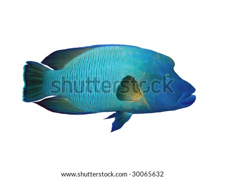 Isolated napoleon Fish on a white background - stock photo