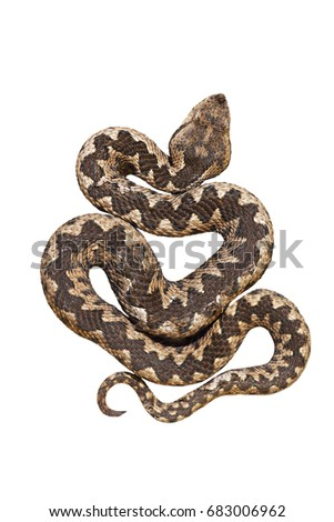 Stock Photo isolated nosed viper, Vipera ammodytes or the long horn adder, one of the most dangerous european snakes; isolation over white background for your design