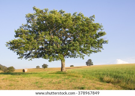 Isolated oak tree against the blue sky.