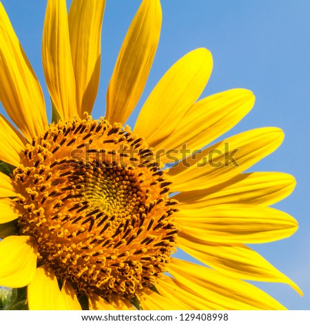 Isolated of blossom Sunflower against blue sky background