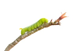isolated of green worm are clamber on branch