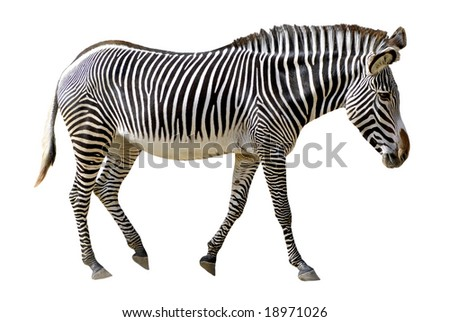 Isolated of profile Grevy zebra walking in the white background