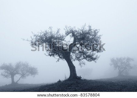 isolated olive tree in the fog in november